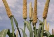 L'essentiel de la production en céréales est importée (expert)