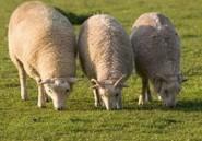 Revue de presse. Aid El Kebir : le mouton entre 35 000 et 65 000 DA