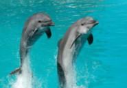Etude: Les dauphins ne seraient pas si intelligents qu'on le pensait