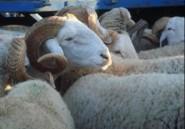 """Algérie : mouton de ville, mouton """"hors-la-loi""""?"""