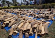 Trafic d'ivoire: le Togo pratique des tests ADN sur les défenses saisies