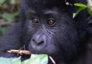 Dans la jungle ougandaise, les gorilles protégés par les touristes