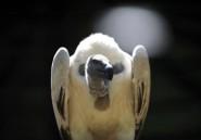 Afrique du Sud: condamné pour avoir empoisonné 46 vautours