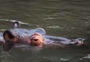 Niger: 12 écoliers tués après l'attaque d'une pirogue par un hippopotame