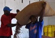 En Sierra Leone, la récolte tardive de cacao