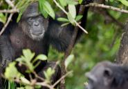 Au Libéria, une planète des singes miniature est en danger