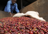 Les pluies provoquées par El Niño vont faire monter le prix du café cultivé en Afrique
