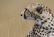 En Afrique du Sud, des guépards sont dressés pour surveiller des aéroports militaires