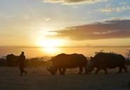 Au Kenya, la survie du rhinocéros blanc du Nord ne dépend plus que de la science