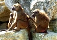 Au Zimbabwe, des babouins interrompent une émission de radio