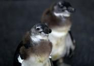 Personne ne sait comment sauver les manchots du Cap de l'extinction