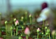 Les fleurs que vous achetez à la Saint-Valentin assèchent un lac au Kenya