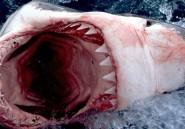 PHOTOS. Le grand requin blanc d'Afrique du Sud est menacé d'extinction