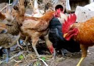 L'odeur des poulets repousse les moustiques porteurs du paludisme
