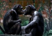 Comme les hommes, les singes se réconcilient après une dispute