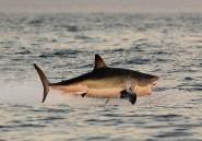 Au large des plages de Cape Town, des drones surveillent les requins