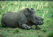 L'Afrique du Sud contre la légalisation du commerce de cornes de rhinocéros