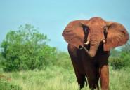 Afrique: les éléphants des savanes ont décliné de 30% entre 2007 et 2014