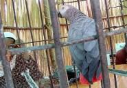 Le commerce international du perroquet gris d'Afrique interdit par la Cites