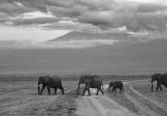 Pourquoi les éléphants dorment très peu par nuit, sauf une fois tous les quatre jours