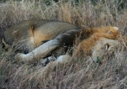 Quatre lions en cavale en Afrique du Sud