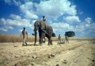 Zimbabwe: un éléphant piétine