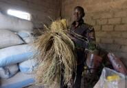 Revenus du rêve européen, des Sénégalais misent sur la culture du riz ou des légumes