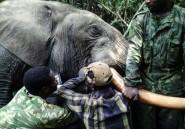 Au Gabon, des éléphants