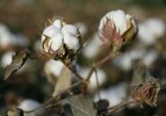Le Mali redevient le premier producteur de coton en Afrique en 2017/18