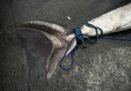 Golfe de Guinée: un navire européen arrêté pour pêche de requins