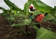 En Angola, le pari du salut économique par l'agriculture
