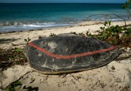A Mayotte, la difficile lutte contre le braconnage des tortues vertes