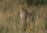 Un léopard blesse 10 personnes