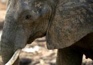 Zimbabwe: un ex-maire de Victoria Falls arrêté pour trafic d'ivoire