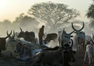 Dans l'ombre du conflit armé au Soudan du Sud, la guerre du bétail