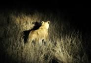 Quatorze lions en liberté en Afrique du Sud après s'être échappés