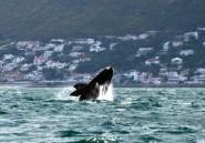 L'Afrique du Sud suspend la pêche au poulpe après la mort de baleines