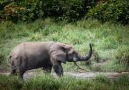 Gabon: il vole des défenses d'éléphant