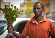 En Ethiopie, des cures de désintox pour les accros du khat