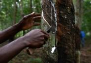 """Plan d'urgence pour les """"saigneurs"""" de caoutchouc en Côte d'Ivoire"""