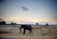 Plus de 50 éléphants victimes de la sécheresse en un mois au Zimbabwe