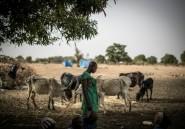 Mali: les éleveurs peuls et le poison jihadiste