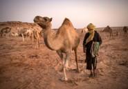 """Au Sahara occidental, un éleveur de dromadaires """""""