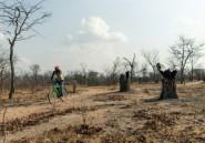 Au Zimbabwe, les arbres énièmes victimes de la crise économique