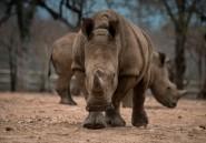 Botswana : le braconnage des rhinocéros en hausse malgré les efforts du gouvernement