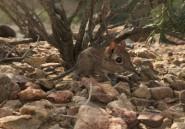 La musaraigne-éléphant de Somalie, une espèce pas si perdue
