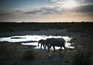 La Namibie met en garde contre le traitement du Covid par la... bouse d'éléphant