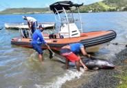 Une dizaine de dauphins échoués sur les côtes de l'île Maurice