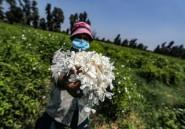 Dans le nord de l'Egypte, un village embaume le monde d'effluves de jasmin