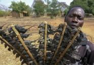 Au Malawi sous coronavirus, la souris dans les assiettes pour conjurer la faim